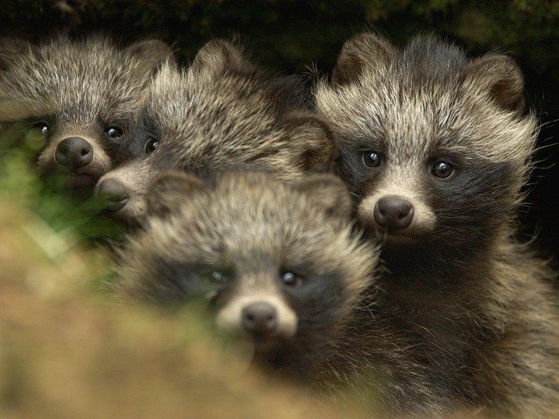 Raccoon Dogs: A No-Win Situation | PETA